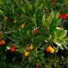 Arbutus unedo (Corbezzolo)